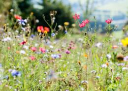 Wildblumenwiese in Wingeshausen